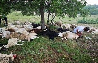 Eskişehir'de 55 koyun yıldırım sebebiyle telef...