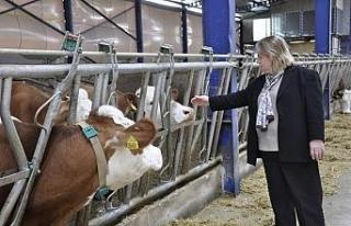 Kurbanlık hayvanları naklederken dikkat edilmesi...