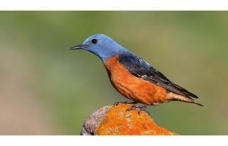 Kazdağları'nın kuş envanterine beş yeni...
