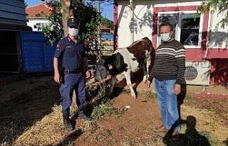Kaybolan kurbanlık hayvan jandarma ekiplerince bulundu