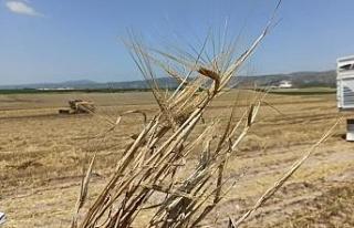 Yağmurlar arpa ve buğdaya yaramadı