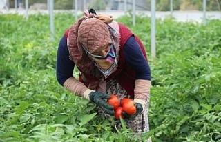 Piyasayı rahatlatacak domates tezgaha düştü