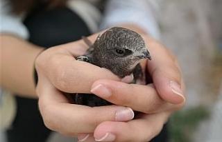 Serçe sandı ebabil kuşu çıktı