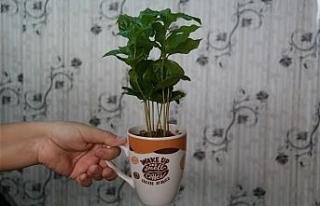 Kahve severlerin favorisi bu bitki
