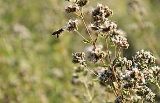 (ÖZEL) Bu bitkiler sayesinde bal üretimi iki katına...
