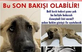 Aracın çarptığı yavru köpeğe hayvan koruma...