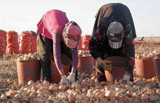 Eskişehir'de kışlık soğan hasadı başladı