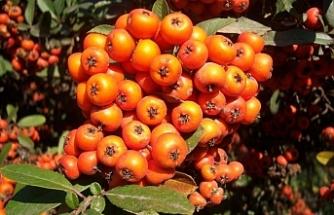 Bu bitki, Uzakdoğu'da asırlardır ilaç yerine kullanılıyor!