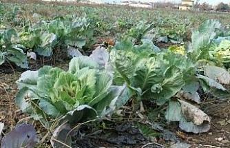 Satılamayan lahanalar tarlada kaldı