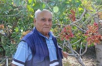 Olmaz dediler ama o Eskişehir'de Antep fıstığı yetiştirdi