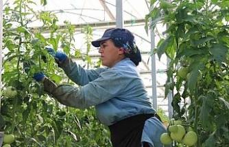 Sıcak su ile yıllık bin 200 ton domates üretiliyor