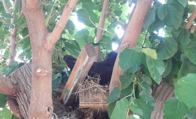 Ağaca yumurtlayan tavuğu vazgeçiremeyince folluğu ağaca yaptılar