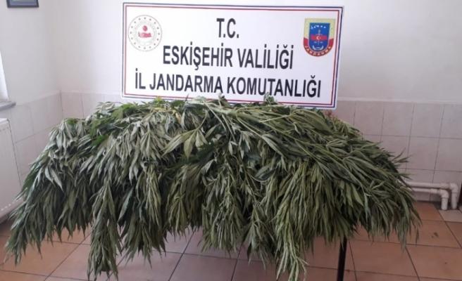 Jandarma bahçeye ekili 35 kök kenevir ele geçirdi