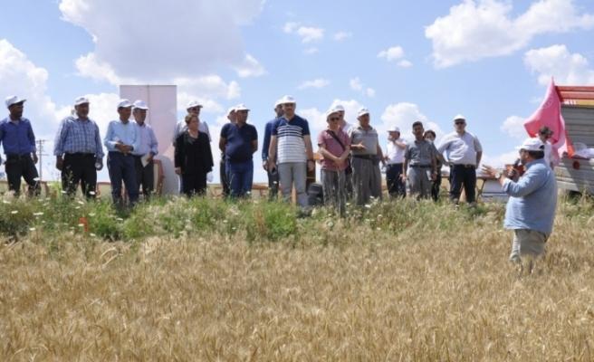 Yeni buğday çeşitleri 'Mesut' ve 'Reis' için tarla günü düzenlendi