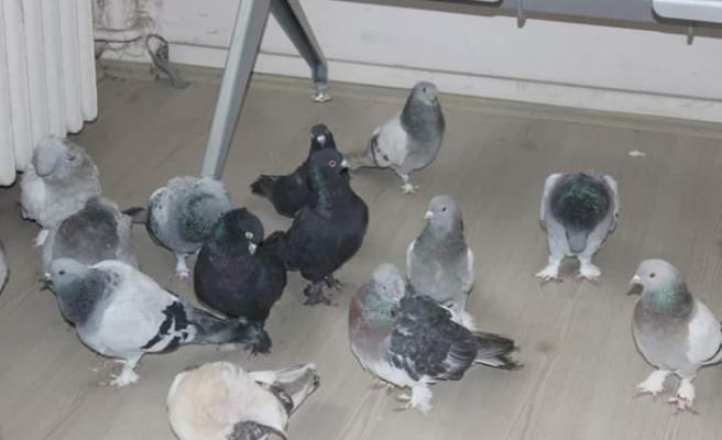 Güvercin hırsızları kıskıvrak yakalandı