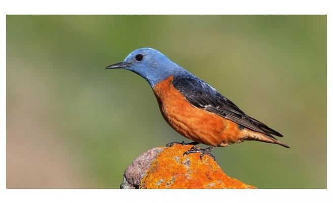 Kazdağları'nın kuş envanterine beş yeni tür eklendi