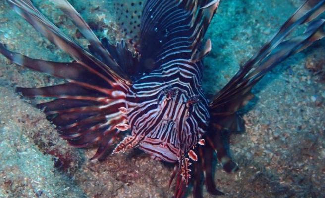 Akdeniz de zehirli aslan balığı alarmı