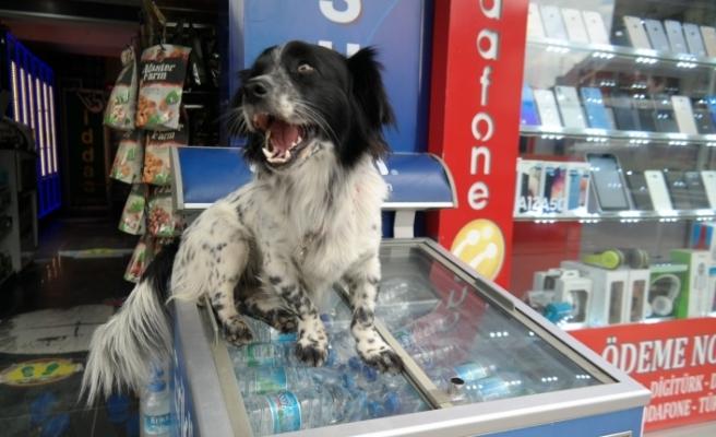 """Market sahibinin köpeği """"Dayı"""" mahallenin maskotu oldu"""