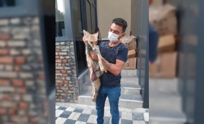 Eskişehir'de yaralı halde bulunan tilki kurtarılamadı
