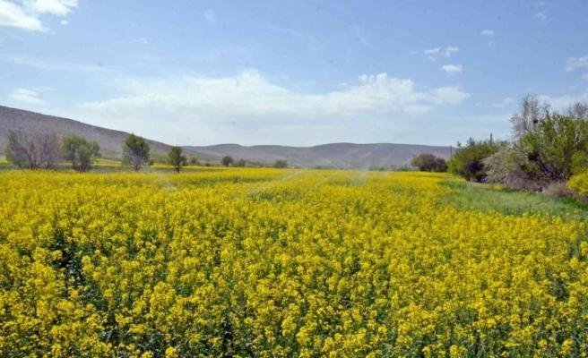 Günyüzü'de çiftçiler alternatif ürün olarak 'Kanola' ekmeye başladı