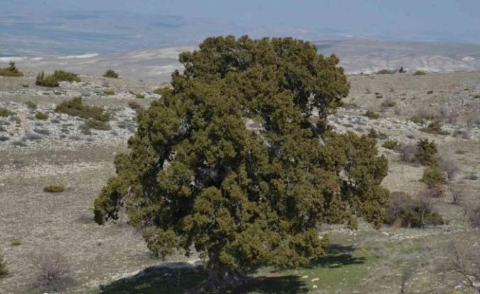 Bu ağaç İstanbul'un fethinden önce de vardı